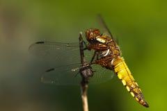 Pequeña libélula amarilla fotografía de archivo