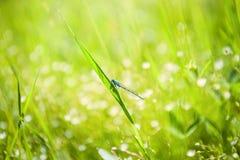 Pequeña libélula azul en la hierba verde en el campo Fotografía de archivo