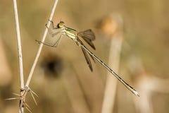 Pequeña libélula del mesonero en rama Fotos de archivo libres de regalías