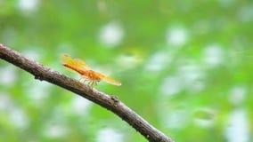 Pequeña libélula roja de Beautifu en la cima de la rama Foto de archivo libre de regalías
