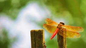 Pequeña libélula roja hermosa en el lago Imagen de archivo