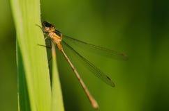 Pequeña libélula verde Foto de archivo