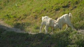 Pequeña lucha de las cabras con los pequeños cuernos Cámara lenta almacen de metraje de vídeo