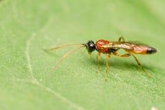 Pequeña macro de la mosca de la libración Fotografía de archivo