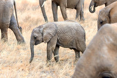 Pequeña manada de elefantes africanos fotografía de archivo libre de regalías