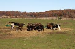 Pequeña manada de ganado Fotografía de archivo