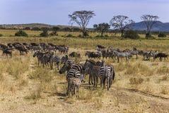 Pequeña manada de la migración de cebras imagenes de archivo