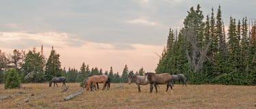 Pequeña manada de los caballos salvajes que pastan al lado de registros del deadwood en la puesta del sol en la gama del caballo  Foto de archivo