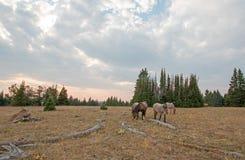 Pequeña manada de los caballos salvajes que pastan al lado de registros del deadwood en la puesta del sol en la gama del caballo  Imagenes de archivo