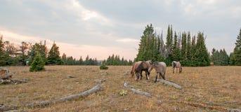 Pequeña manada de los caballos salvajes que pastan al lado de registros del deadwood en la puesta del sol en la gama del caballo  Fotos de archivo libres de regalías