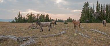 Pequeña manada de los caballos salvajes que pastan al lado de registros del deadwood en la puesta del sol en la gama del caballo  imágenes de archivo libres de regalías