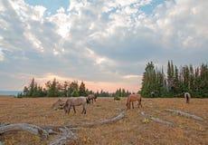 Pequeña manada de los caballos salvajes que pastan al lado de registros del deadwood en la puesta del sol en la gama del caballo  fotos de archivo