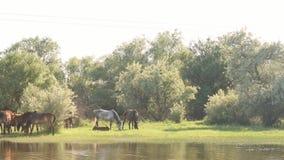 Pequeña manada de los caballos y de los potros que pastan metrajes
