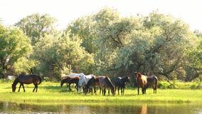 Pequeña manada de los caballos y de los potros que pastan almacen de video