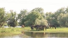 Pequeña manada de los caballos y de los potros que pastan almacen de metraje de vídeo