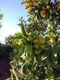 Pequeña mandarina Foto de archivo