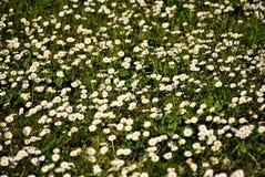 Pequeña margarita blanca Foto de archivo