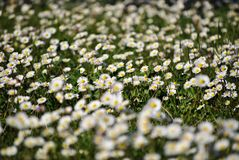 Pequeña margarita blanca Fotos de archivo libres de regalías
