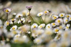 Pequeña margarita blanca Fotografía de archivo