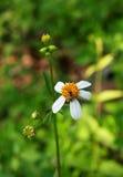 Pequeña margarita, wildflowers blancos Imagen de archivo libre de regalías