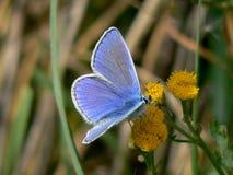 Pequeña mariposa Fotografía de archivo