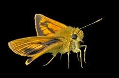 Pequeña mariposa (Augeades) 15 Fotos de archivo libres de regalías
