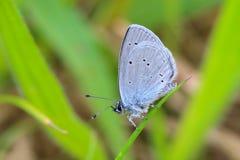 Pequeña mariposa azul fotos de archivo