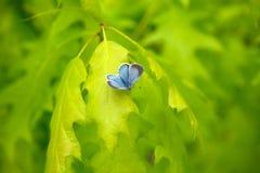 Pequeña mariposa azul Imagenes de archivo