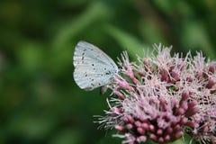 Pequeña mariposa azul: argiolus azul de Celastrina del árbol en las flores rosadas imágenes de archivo libres de regalías