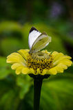 Pequeña mariposa blanca Fotos de archivo