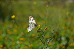 Pequeña mariposa blanca adorable que vuela sobre campo de hierba Fotos de archivo