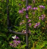 Pequeña mariposa blanca en los flores púrpuras delicados en verde Foto de archivo