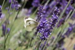 Pequeña mariposa blanca que alimenta en la lavanda Imagenes de archivo