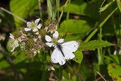 Pequeña mariposa blanca y x28; Rapae del Pieris y x29; en una zarza y un x28; Frut del Rubus Imagen de archivo