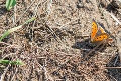 Pequeña mariposa de cobre en la tierra fotos de archivo libres de regalías