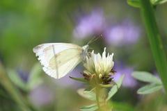 pequeña mariposa de col blanca en trébol imagenes de archivo