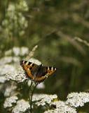 Pequeña mariposa de concha Imagen de archivo libre de regalías