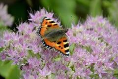 Pequeña mariposa de concha Fotografía de archivo libre de regalías