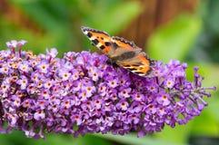 Pequeña mariposa de concha en la flor del Buddleia fotografía de archivo libre de regalías