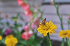 Pequeña mariposa de concha en la flor del Zinnia Imágenes de archivo libres de regalías
