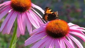 Pequeña mariposa de concha en un Coneflower Imagenes de archivo