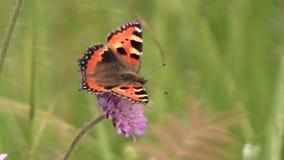 Pequeña mariposa de la concha (urticae de Aglais) en la flor rosada almacen de video