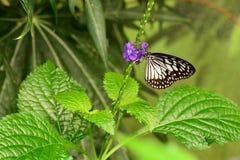 Pequeña mariposa de la ninfa de madera Fotografía de archivo