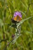 Pequeña mariposa del capitán Foto de archivo