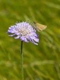 Pequeña mariposa del capitán en la flor escabiosa Foto de archivo libre de regalías