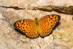 Pequeña mariposa del leopardo Imágenes de archivo libres de regalías