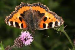 Pequeña mariposa del tortoishell Imágenes de archivo libres de regalías