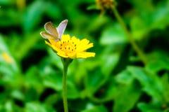 Pequeña mariposa en las flores amarillas Fotografía de archivo
