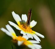 Pequeña mariposa en margarita fotografía de archivo libre de regalías