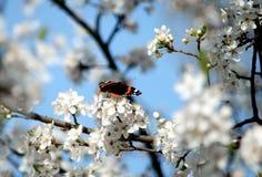 Pequeña mariposa en ramas de la flor de la primavera Imagenes de archivo